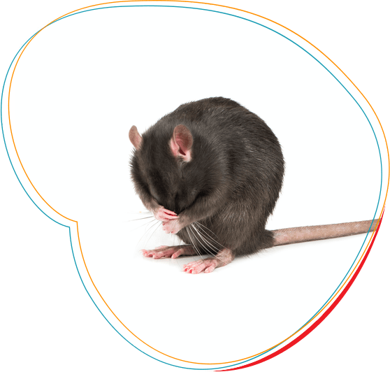 Graužikų kontrolės specialistai atliekantys pelių ir žiurkių naikinimą Lietuvoje